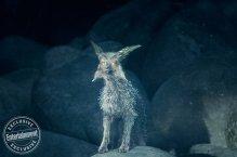 Crystal Fox for Star Wars: The Last Jedi